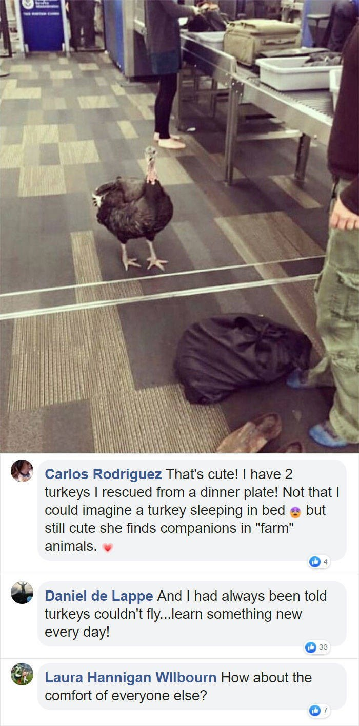 """Text - Carlos Rodriguez That's cute! I have 2 turkeys I rescued from a dinner plate! Not that I could imagine a turkey sleeping in bed but still cute she finds companions in """"farm"""" animals. Daniel de Lappe And I had always been told turkeys couldn't fly...learn something new every day! 33 Laura Hannigan WIlbourn How about the comfort of everyone else? 7"""