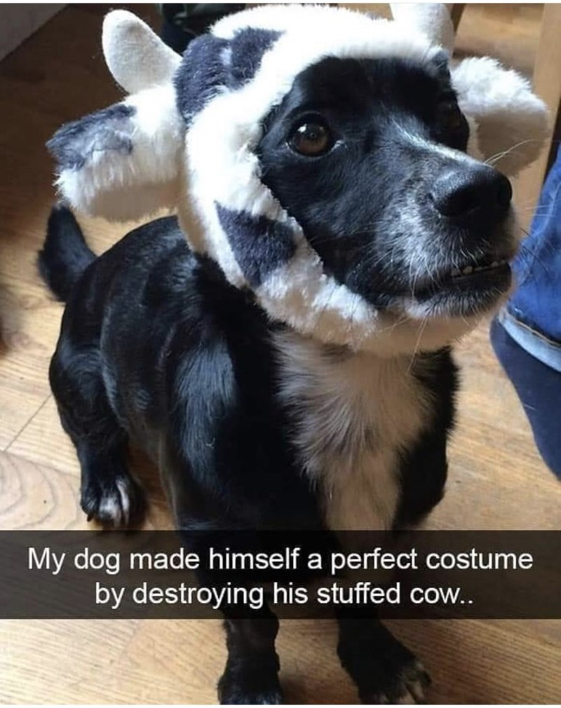 Dog breed - My dog made himself a perfect costume by destroying his stuffed cow...