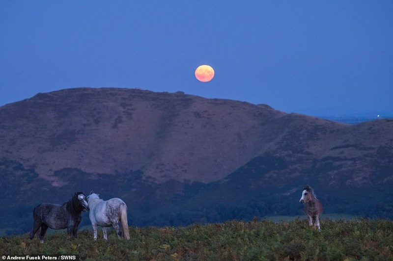yellow harvest moon above mountain with two horses kissing