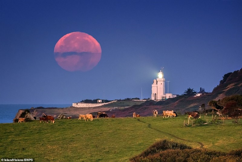 pink harvest moon above cliff with cows and lighthouse