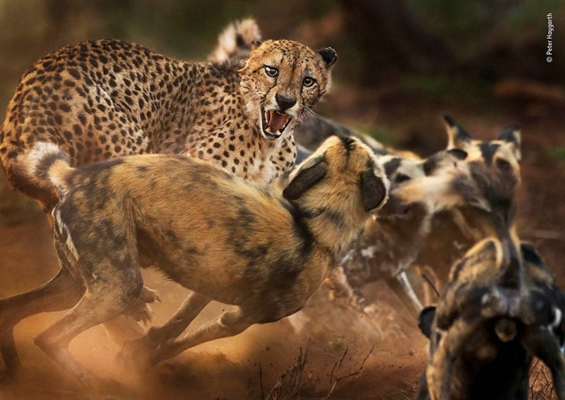 Terrestrial animal - O Peter Hoygarth