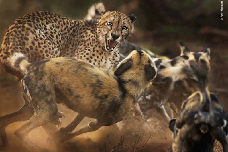 picture cheetah and wild dogs fighting