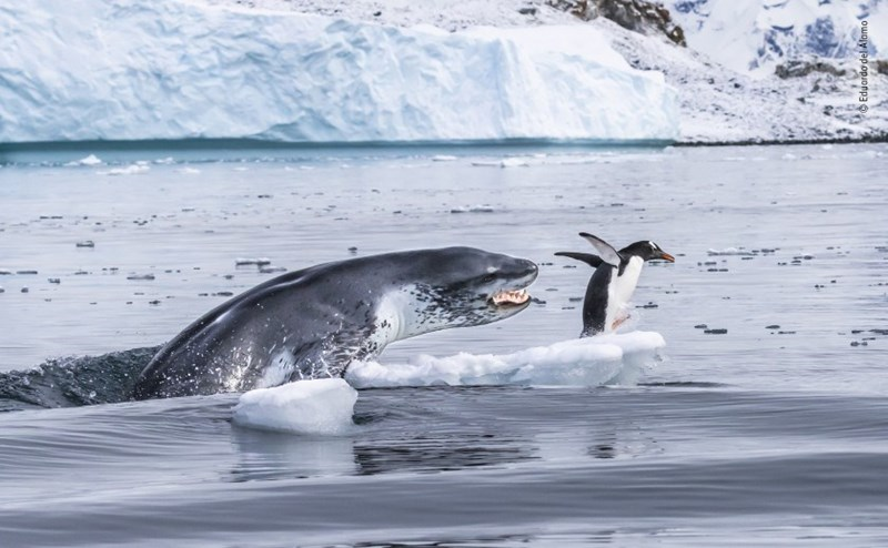 leopard seal lunging after a penguin in the water