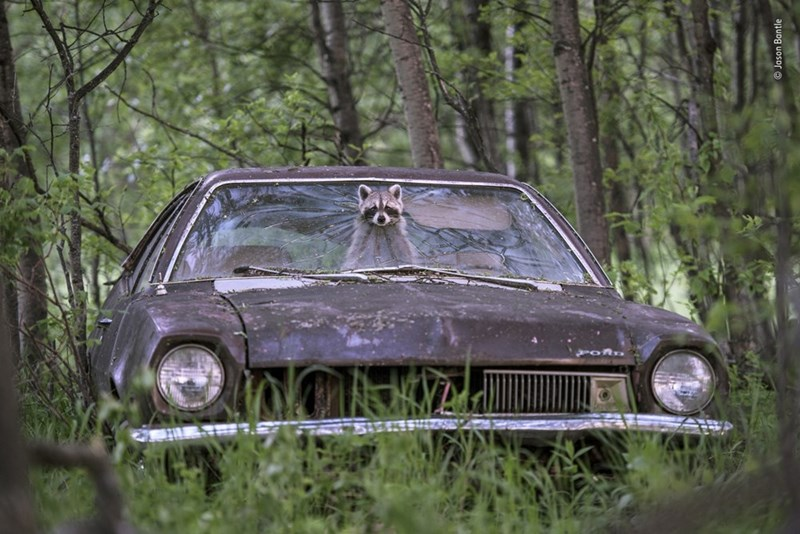 raccoon poking head out of abandoned car