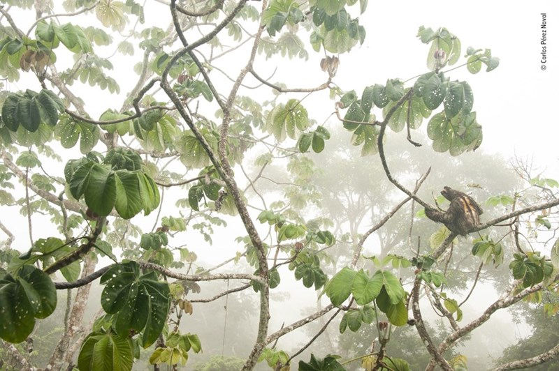sloth sitting in a tree among misty forest in panama