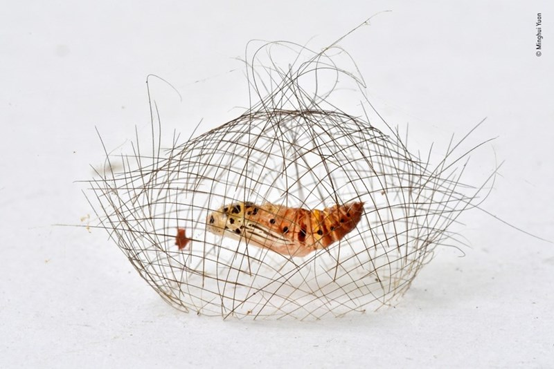 close up photo of cyna moth pupa inside cocoon
