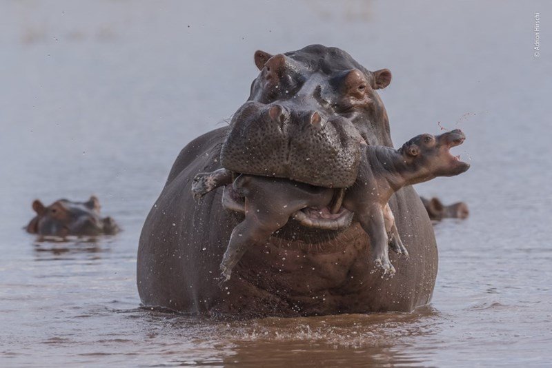 male hippo with baby hippo in it's mouth