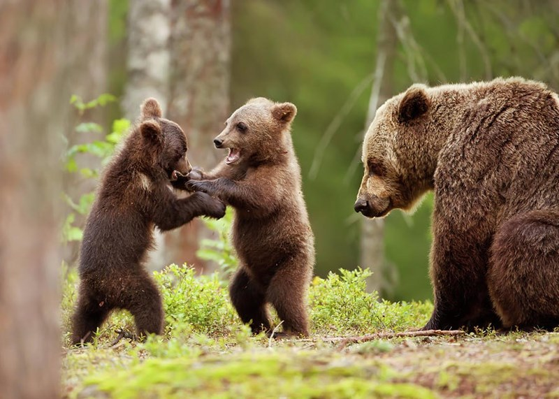 mother Eurasian brown bear with two baby bears playing in forest