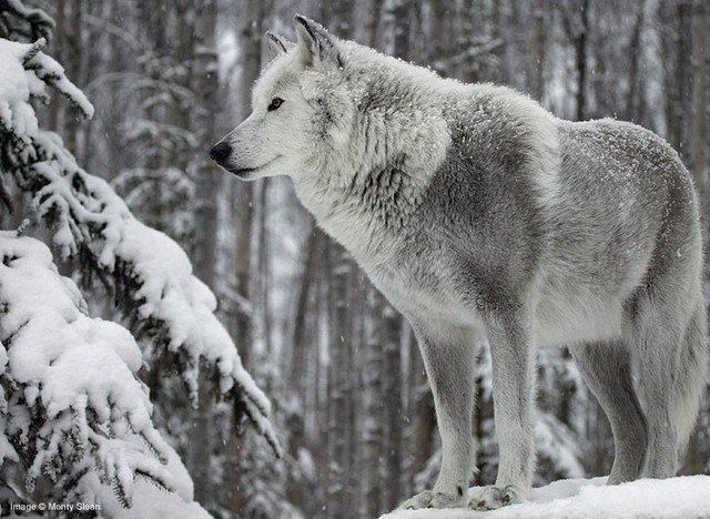picture grey wolf standing among snowy trees