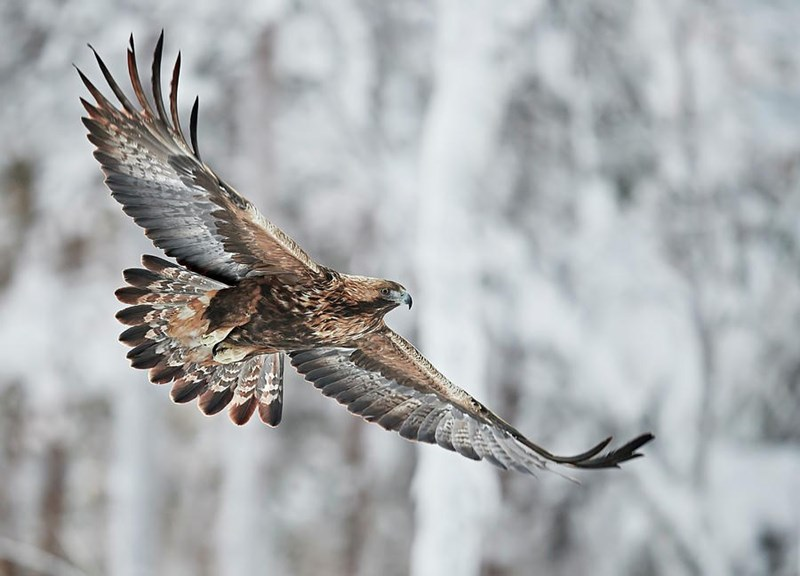 a golden eagle soaring in front of snowy trees