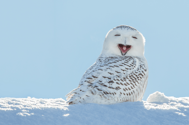 snowy owl yawning with sun behind it sitting on snow
