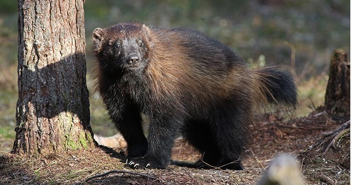picture of a wolverine in a forest