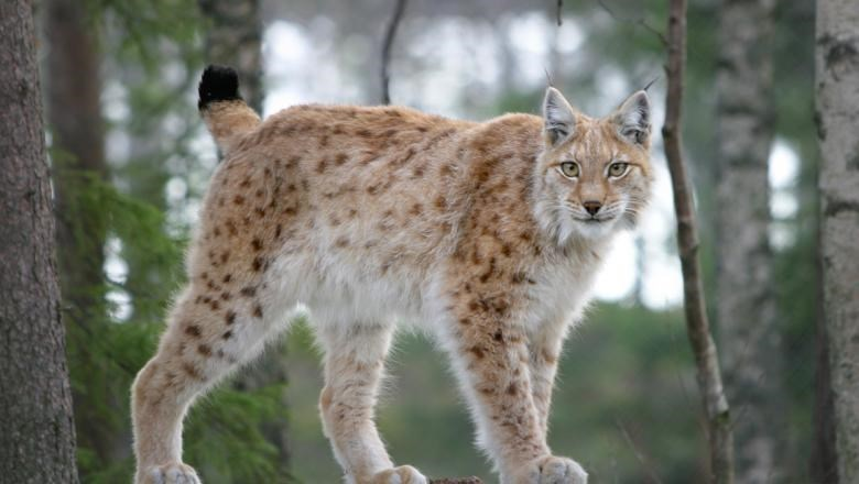 a lynx standing in the forest