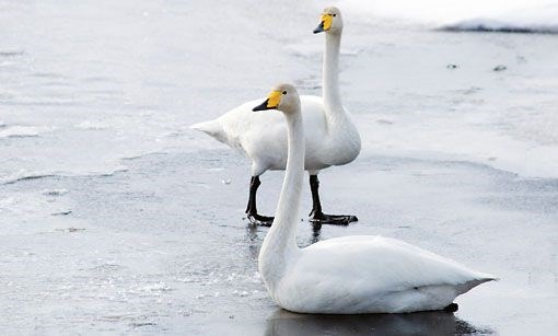 whooping swan standing on frozen lake