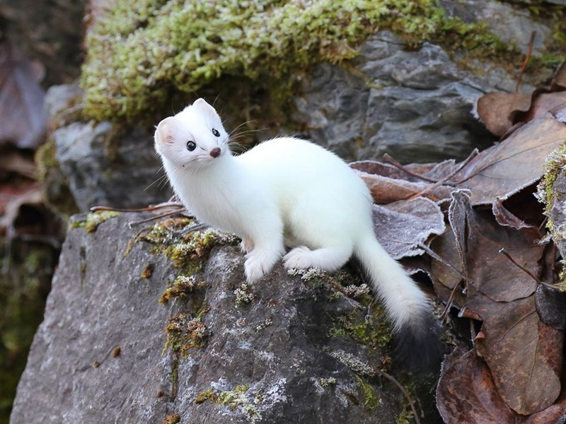 a white ermine on a rock in the forest