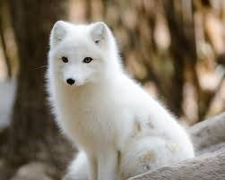a white arctic fox sitting in the forest