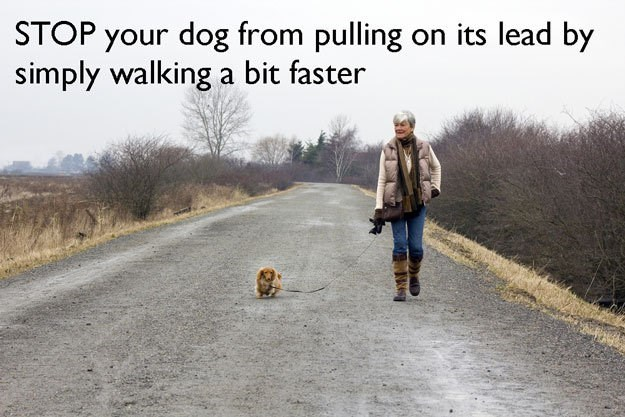 Canidae - STOP your dog from pulling on its lead by simply walking a bit faster