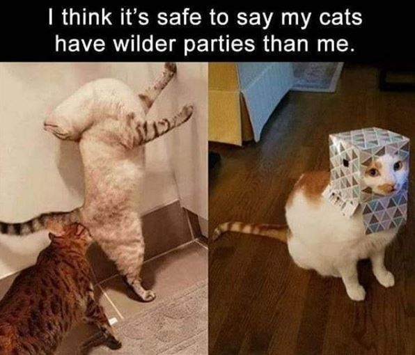 Cat - I think it's safe to say my cats have wilder parties than me. T