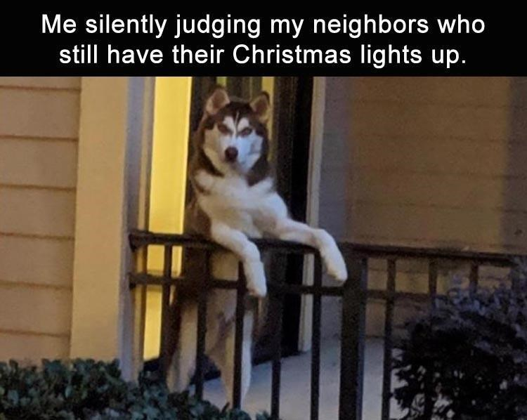 Siberian husky - Me silently judging my neighbors who still have their Christmas lights up.