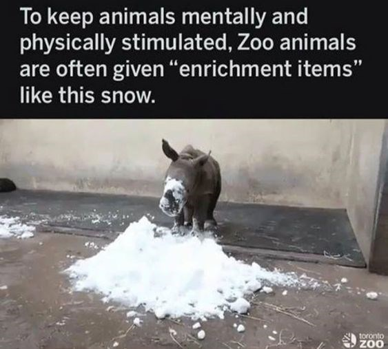 "Text - To keep animals mentally and physically stimulated, Zoo animals are often given ""enrichment items"" like this snow. toronto ZOO"