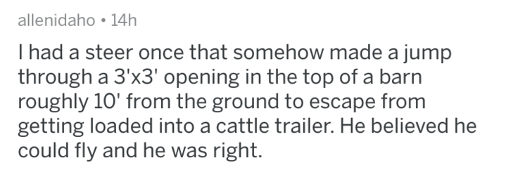 Text - allenidaho 14h I had a steer once that somehow made a jump through a 3'x3' opening in the top of a barn roughly 10' from the ground to escape from getting loaded into a cattle trailer. He believed he could fly and he was right.