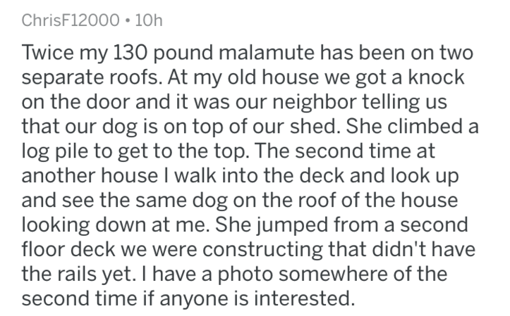 Text - ChrisF12000 10h Twice my 130 pound malamute has been on two separate roofs. At my old house we got a knock on the door and it was our neighbor telling us that our dog is on top of our shed. She climbed a log pile to get to the top. The second time at another house I walk into the deck and look up and see the same dog on the roof of the house looking down at me. She jumped from a second floor deck we were constructing that didn't have the rails yet. I have a photo somewhere of the second t