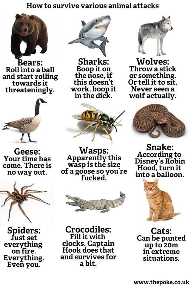 Organism - How to survive various animal attacks Sharks: Boop it on the nose, if this doesn't work, boop it in the dick. Wolves: Throw a stick or something. Or tell it to sit. Never seen a wolf actually Bears: Roll into a ball and start rolling towards it threateningly Snake: According to Disney's Robin Hood, turn it Wasps: Apparently this wasp is the size of a goose so you're fucked. Geese: Your time has come. There is no way out into a balloon Crocodiles: Fill it with clocks. Captain Hook does