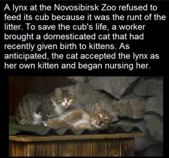 Felidae - A lynx at the Novosibirsk Zoo refused to feed its cub because it was the runt of the litter. To save the cub's life, a worker brought a domesticated cat that had recently given birth to kittens. As anticipated, the cat accepted the lynx as her own kitten and began nursing her.