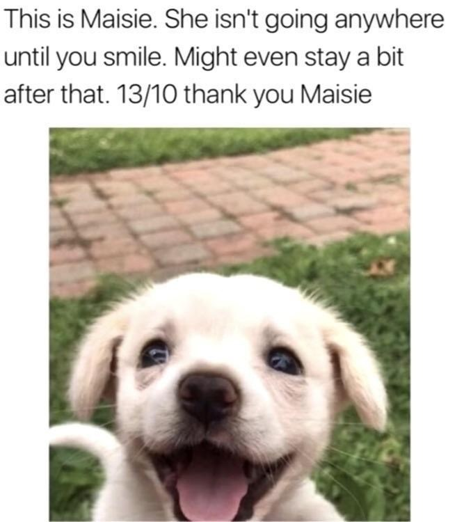 Dog breed - This is Maisie. She isn't going anywhere until you smile. Might even stay a bit after that. 13/10 thank you Maisie