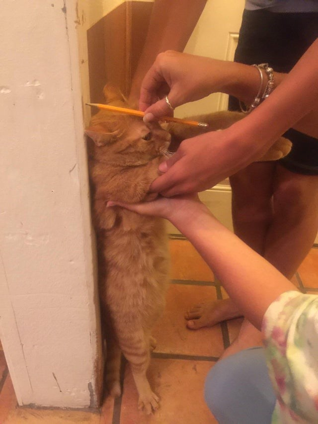 cat getting measured against a wall