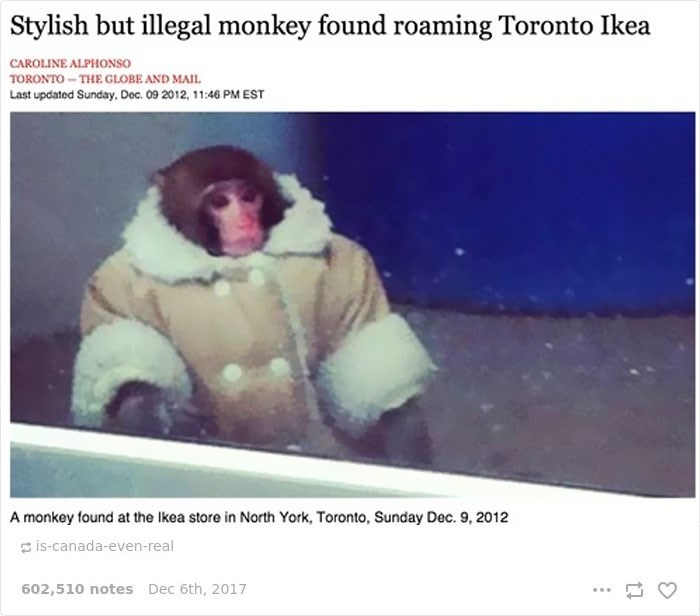 Adaptation - Stylish but illegal monkey found roaming Toronto Ikea CAROLINE ALPHONSO TORONTO THEGLOBE AND MAIL Last updated Sunday. Dec. 09 2012, 11:46 PM EST A monkey found at the Ikea store in North York, Toronto, Sunday Dec. 9, 2012 is-canada-even-real 602,510 notes Dec 6th, 2017