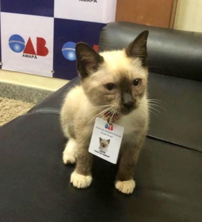 Cat - AMAPA