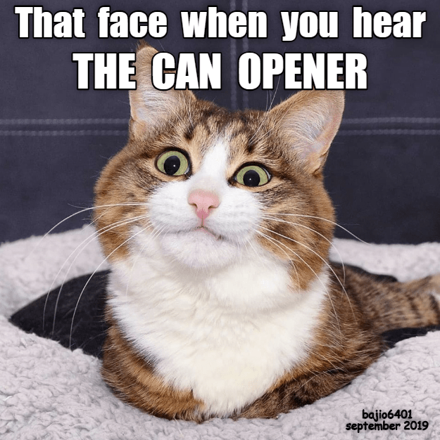 Cat - That face when you hear THE CAN OPENER bajio6401 september 2019