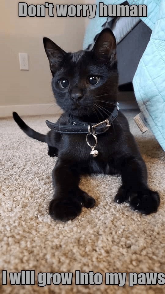Cat - Dontworty human Iwill grow into my paws