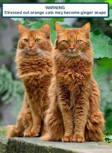 Cat - WARNING Stressed out orange cats may become ginger snaps