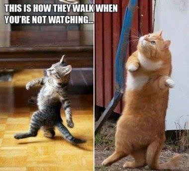 Cat - THIS IS HOW THEY WALK WHEN YOU'RE NOT WATCHING