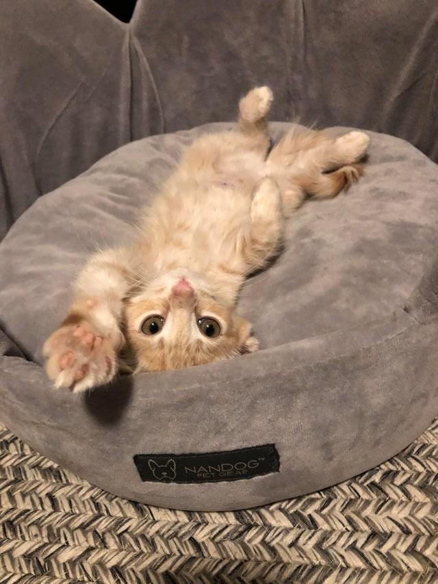 Cat - NANDOG PET CEAR