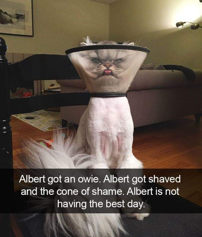 Photo caption - Albert got an owie. Albert got shaved and the cone of shame. Albert is not having the best day.