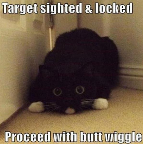 Cat - Target sighted & locked Proceed with butt wiggle