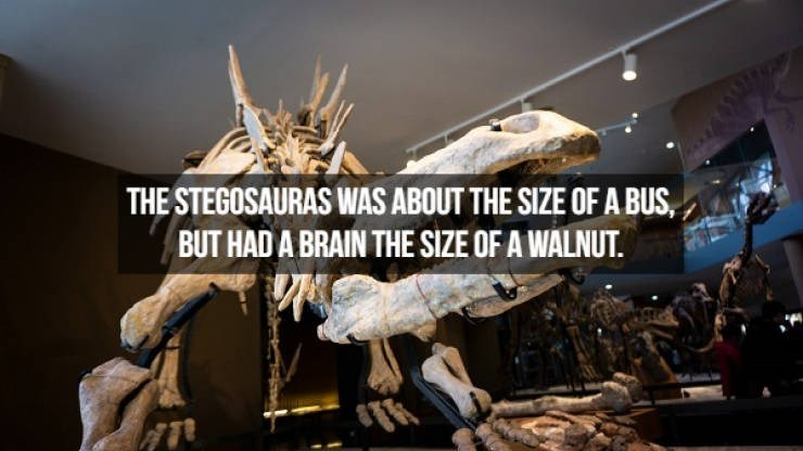 Extinction - THE STEGOSAURAS WAS ABOUT THE SIZE OF A BUS, BUT HAD A BRAIN THE SIZE OF A WALNUT.