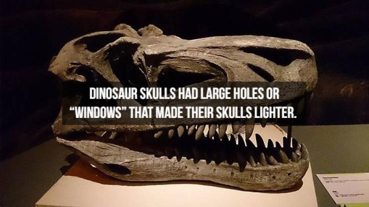 "Extinction - DINOSAUR SKULLS HAD LARGE HOLES OR ""WINDOWS"" THAT MADE THEIR SKULLS LIGHTER."