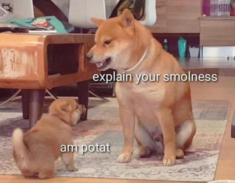 Dog - explain your smolness am potat