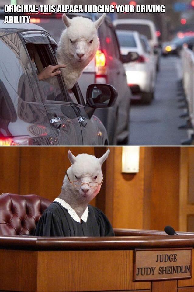 Photo caption - ORIGINAL THIS ALPACA JUDGING YOUR DRIVING ABILITY JUDGE JUDY SHEINDLIN