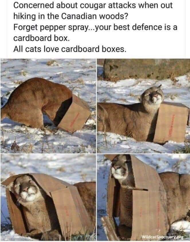 Adaptation - Concerned about cougar attacks when out hiking in the Canadian woods? Forget pepper spray...your best defence is a cardboard box. All cats love cardboard boxes. WildcatSanctuary.org