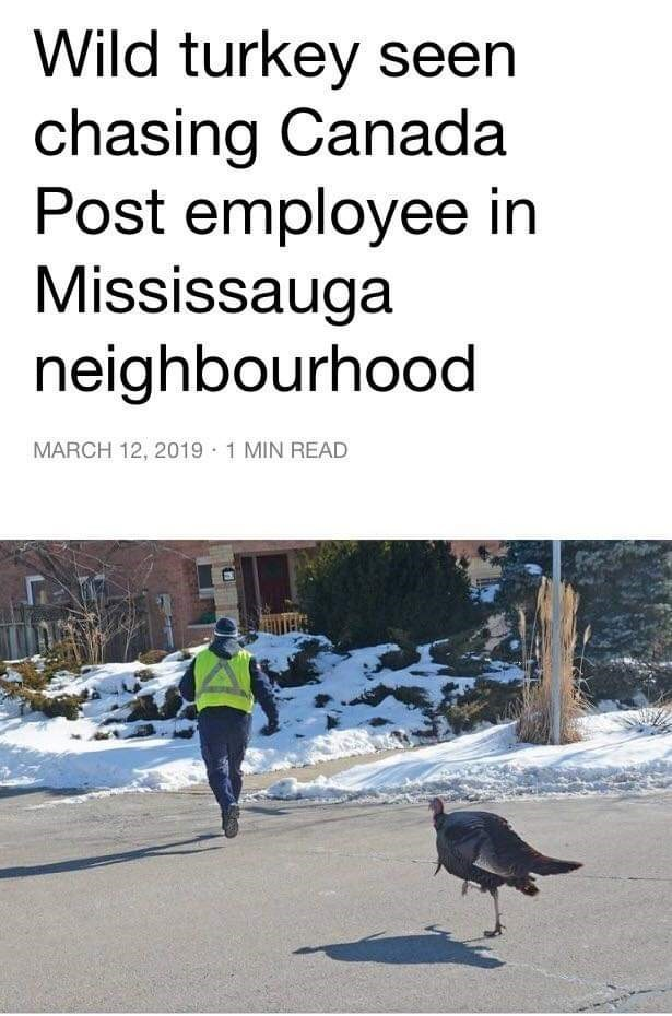 Text - Wild turkey seen chasing Canada Post employee in Mississauga neighbourhood MARCH 12, 2019 1 MIN READ