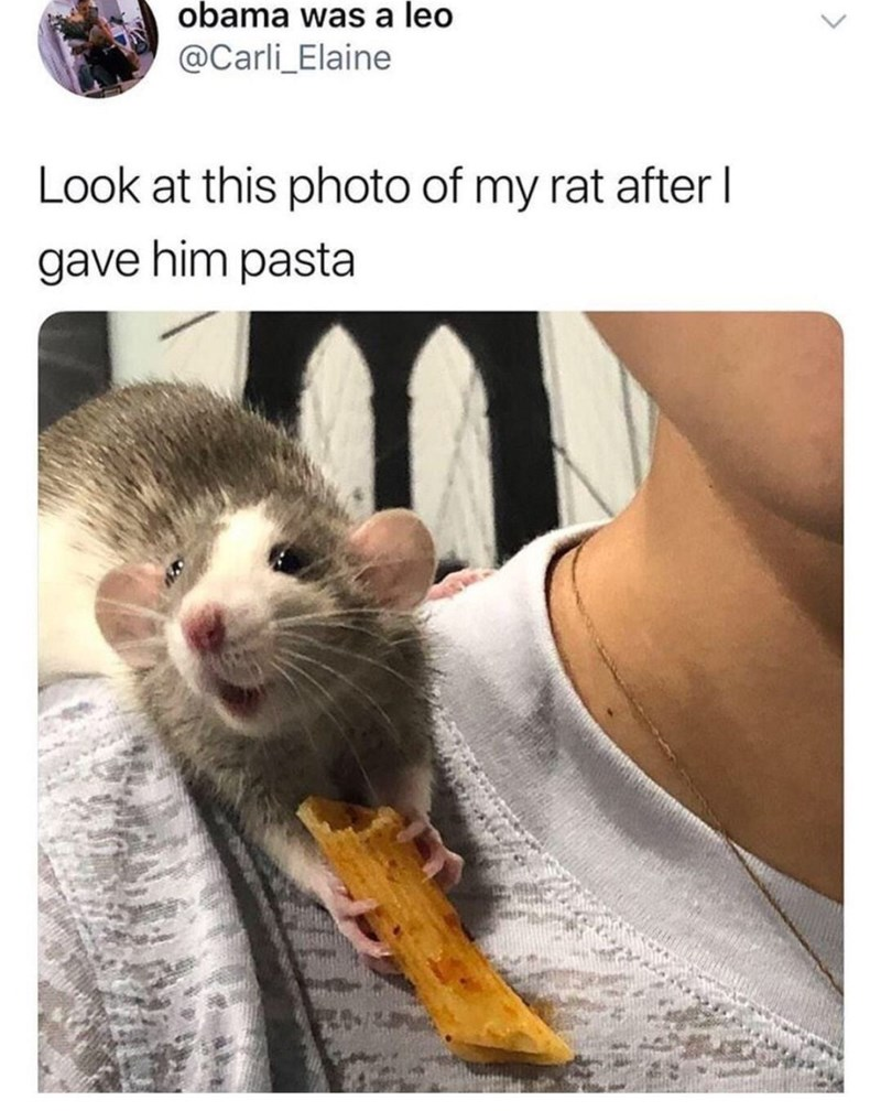 Rat - obama was a leo @Carli_Elaine Look at this photo of my rat after I gave him pasta