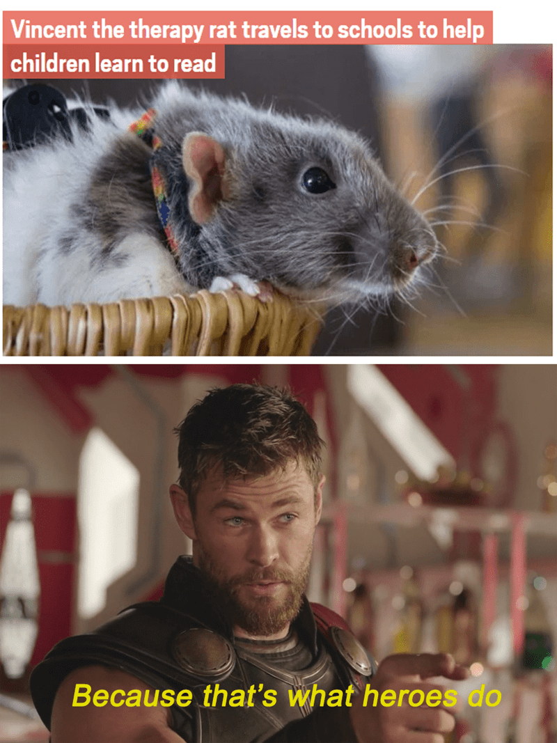 Rat - Vincent the therapy rat travels to schools to help children learn to read Because that's what heroes do