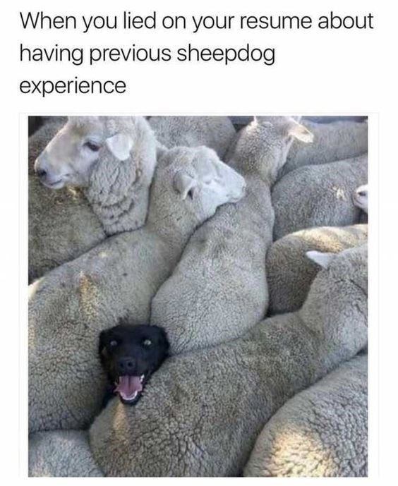 Text - When you lied on your resume about having previous sheepdog experience
