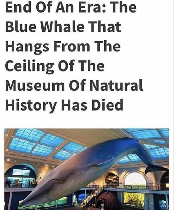 Marine mammal - End Of An Era: The Blue Whale That Hangs From The Ceiling Of The Museum Of Natural History Has Died