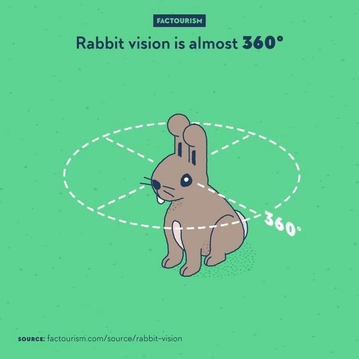Cartoon - FACTOURISM Rabbit vision is almost 360° 360 SOURCE: factourism.com/source/rabbit-vision